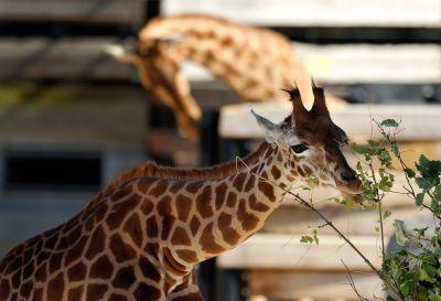Girafe au Parc Zoologique de Paris © MNHN - François Grandin