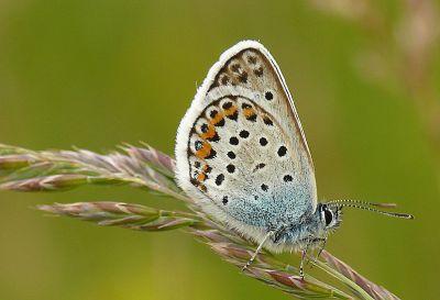 Papillon Azuré de l'Ajonc, Plebejus argus (Linnaeus, 1758) © MNHN / SPN - Renaud Puissauve
